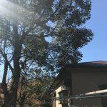 空き地の8m級の大きい木の伐採作業 ~兵庫県川西市錦松台~